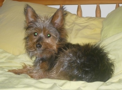 The left side of a small, perk eared black and brown Yorwich puppy laying across a human's yellow bed looking at the camera. It has large perk ears and wide round eyes. The dog's hair is long and sticking out in all directions.