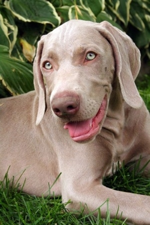 Close Up - A gray Weimaraner puppy that is laying outside in grass and it is panting. The dog's eyes are silver in color, its nose is brown and its tongue is pink. It has long soft ears that hang down to the sides.