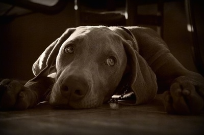 A black and white photo of a Weimaraner puppy laying down on a floor. The dog has silver gray eyes and it is looking to the right.
