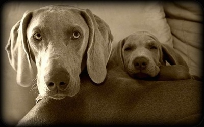 Close up - A black and white photo of a Weimaraner dog that is laying in a bed next to a Weimaraner puppy. The puppy has its head on the adult dogs back.