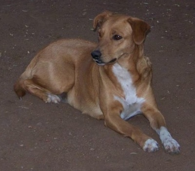 A tan with white Africanis dog laying on the ground staring into the distance. It has a short shiny coat and ears that hang down to the sides with almond shaped brown eyes and a black nose with a long muzzle.