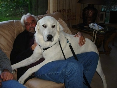 An extra large breed white Akbash Dog on the lap of a man sitting on a couch. The dog looks bigger than the man.