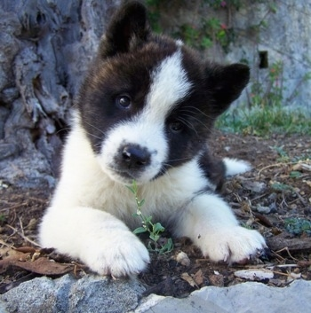 Close up - A white with black Akita puppy is laying on dirt with rocks behind it and its head is tilted to the right.