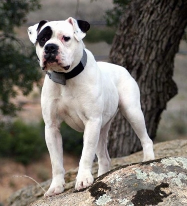 The front left side of a white with black patched Alapaha Blue Blood Bulldog standing on a rock with a tree behind it.