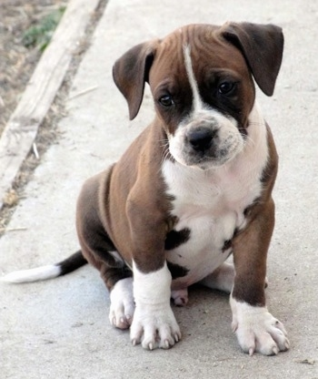The front right side of a brown with white Alapaha Blue Blood Bulldog puppy that is sitting on a concrete.
