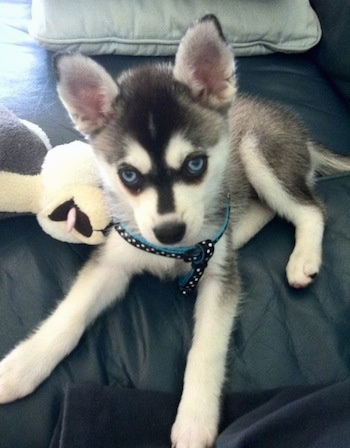 The front left side of a black with white blue-eyed Alaskan Klee Kai puppy that is laying down on a couch and it is looking up.