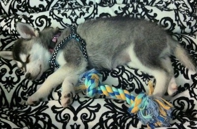The left side of a black with white Alaskan Klee Kai puppy that is sleeping above a dog rope toy.