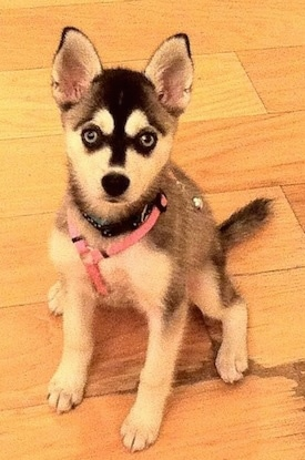 A black wiht white Alaskan Klee Kai puppy is sitting on a hardwood floor and it is wearing a pink harness
