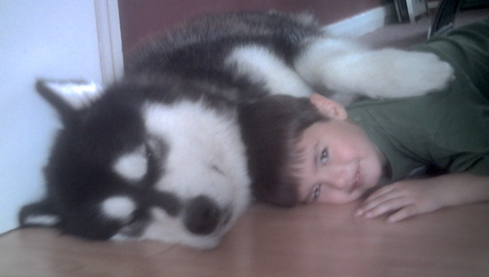 Alaskan Malamute laying down  on the floor in a house with its paw on top of a child who is smiling