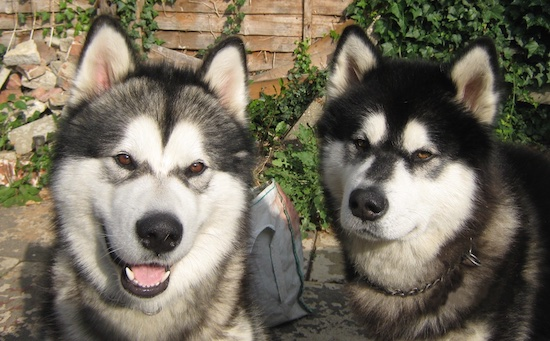 Two Alaskan Malamutes are sitting in a yard with a wooden fence behind them