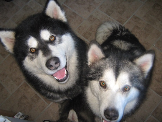 Topdown view of Two Alaskan Malamutes that are sitting on a floor in a kitchen and they are looking up.