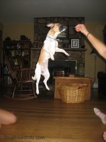 Scooby the Chug is jumping high off the ground for a treat that a person is holding in the air in a living room