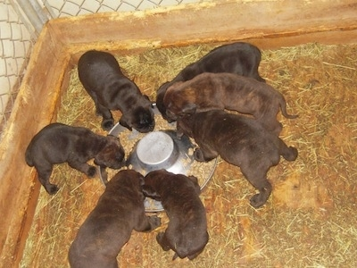 Litter of Ambullneo Mastiff puppies gathered around a food dish