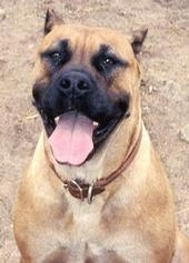 Ambullneo Mastiff sitting with mouth open tongue out
