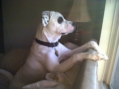 The right side of a white with black American Bull-Aussie that is sitting across the back of a couch and it is looking out of a window.
