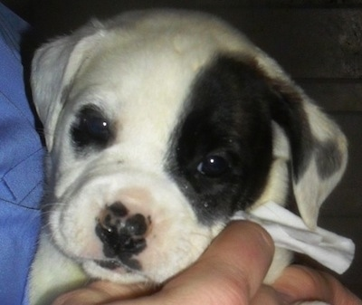 Close up - A white with black American Bull-Aussie puppy is being held by a person and it is looking forward.