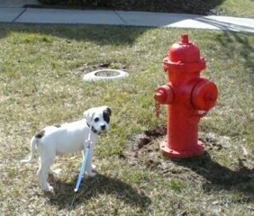 The right side of a white with black American Bull-Aussie puppy that is standing next to a red fire hydrant and it is looking forward.