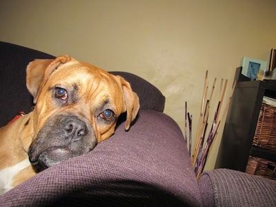 American Bull Dogue de Bordeaux laying head on couch arm