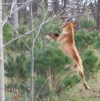 American Bull Dogue de Bordeaux jumping up to grab branch