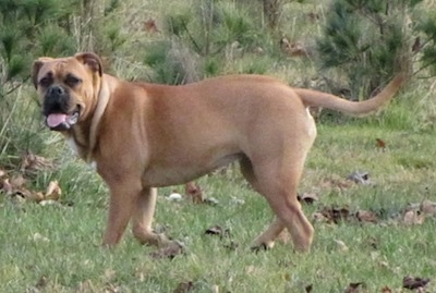 The left side of a brown American Bull Dogue de Bordeaux that is walking across grass, it is looking forward, its mouth is open and its tongue is out.