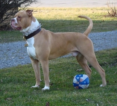 Casey the American Bulldog standing on a lawn wearing a pinch collar with a deflated basketball under it