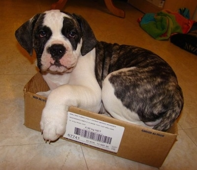 American Bulldog Puppies on American Bulldog Pictures And Photos  1