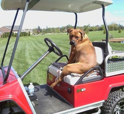 The back left side of a red with white American Bullweiler that is sitting on a red golf cart and it is looking forward.