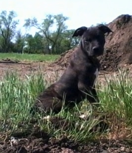 The right side of a black with white American Pit Bull Terrier puppy that is standing across wild grass and it is looking forward.