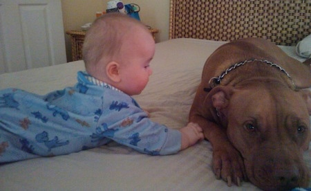 A red nose American Pit Bull Terrier is laying down on a bed and a baby is crawling next to it.