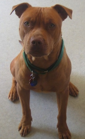 A red nose American Pit Bull Terrier is sitting on a floor and it is wearing a green collar