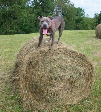 The front left side of a gray with white American Pit Bull Terrier that is standing on a hay bale, it is looking forward, its mouth is open and its tongue is out.
