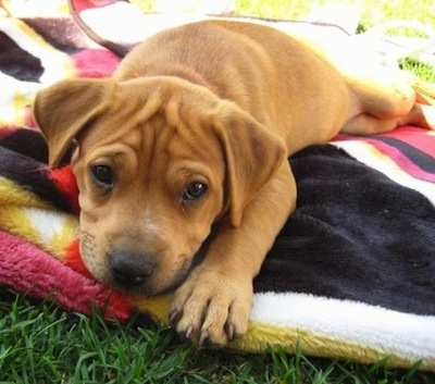 Close up front view - A tan Pit Bull Terrier puppy is laying on a black, white, pink and yellow blanket in grass.