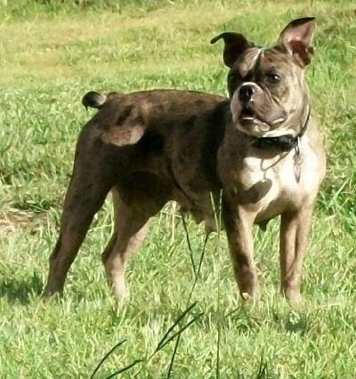 The right side of a merle Amitola Bulldog that is standing across grass and it is looking to the left.