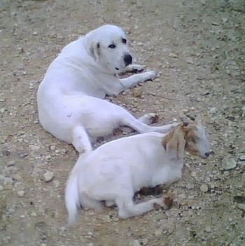 Anatolian Pyrenees Dog Breed Information and Pictures