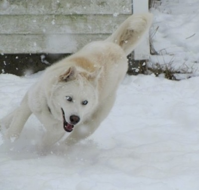 White Siberian Husky In Snow