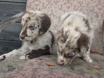 Two merle Aussie-Flat puppies are sitting together on a chair that is on a wooden porch.