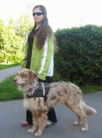 The left side of a red merle Aussie-Flat that is standing across a sidewalk and there is a lady in a brigh green jacket standing next to it.