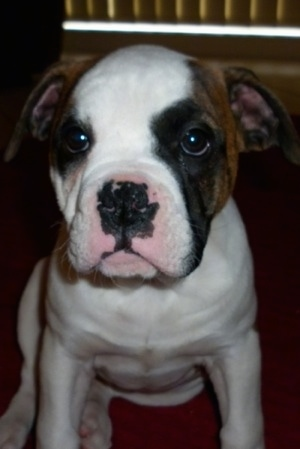 Paris the Australian Bulldog puppy sitting on a carpet with a window in the background