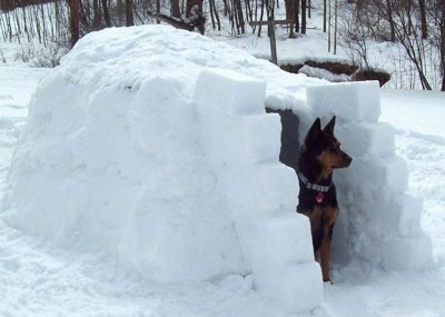 The front right side of a black with brown Australian Kelpie that is standing at the entrance of an igloo.