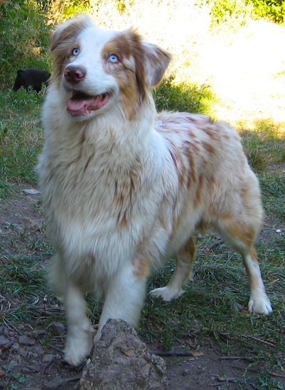 Australian Shepherd Puppies on Australian Shepherd Information And Pictures  Australian Shepherds