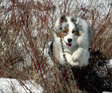 Action shot, Budo the Australian Shepherd running through snow jumping over the tall weeds sticking out of the snow with its mouth open