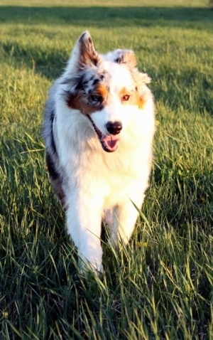 A blue merle Australian Shepherd is running down a lawn with one ear up and its mouth open.