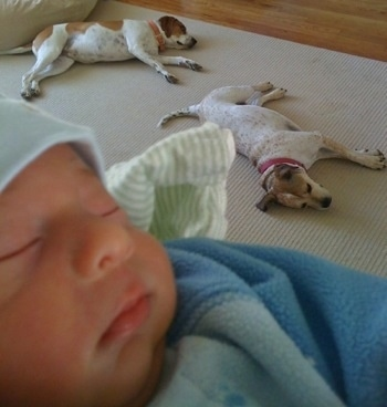Two brown and white Dogs are sleeping on a rug with a baby in the foreground.