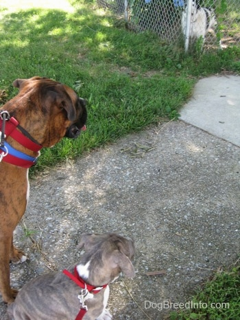 A brown brindle Boxer and a blue-nose Brindle Pit Bull Terrier puppy are standing on a sidewalk looking at a dog behind a chain link fence.