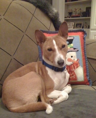 Zaley the Basenji laying on a couch