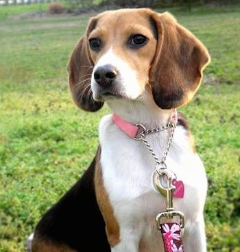 Baylee the Beagle sitting outside with a flowered leash on