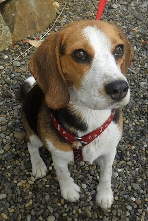 CoCo the Beagle as an adult dog.