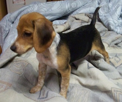 Chester the Beagle puppy standing on a bed