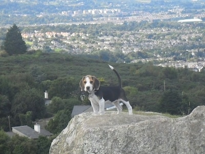 Koko the Beagle puppy standing on a rock with a town in the background