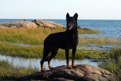 Haunter the Beauceron is standing on a rock with a large body of water behind him